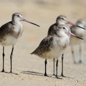 Black-tailed godwit. Adults in non-breeding plumage (left and rear) with bar-tailed godwit. Cairns, Queensland, January 2014. Image © Richard Else by Richard Else