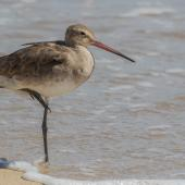 Black-tailed godwit. Non-breeding adult. Cairns foreshore, January 2017. Image © Imogen Warren by Imogen Warren