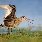 Hudsonian godwit. Adult breeding wings raised. Parksville, British Columbia, Canada, May 2011. Image © Mike Ashbee by Mike Ashbee Courtesy ofhttp://www.mikeashbeephotography.com