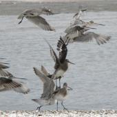 Hudsonian godwit. Overwintering bird taking off among bar-tailed godwits. Miranda, August 2005. Image © Phil Battley by Phil Battley