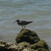 Wandering tattler. Adult. Samoa, March 2010. Image © Koos Baars by Koos Baars