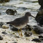 Wandering tattler. Non-breeding plumage. Rarotonga, August 2010. Image © Alan Tennyson by Alan Tennyson