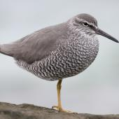 Wandering tattler. Adult in breeding plumage. Rarotonga, Cook Islands, April 2014. Image © Philip Griffin by Philip Griffin Photo © Philip Griffin, 2014