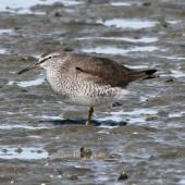 Grey-tailed tattler. Adult in breeding plumage resting on one leg. Napier, April 2010. Image © Duncan Watson by Duncan Watson