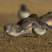 Grey-tailed tattler. Two birds at roost, one stretching wing. Awarua Bay, June 2017. Image © Glenda Rees by Glenda Rees http://www.flickr.com/photos/nzsamphotofanatic/https://www.facebook.com/NZBANP/
