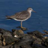 Grey-tailed tattler. Non-breeding adult. Cairns foreshore, Queensland, January 2017. Image © Imogen Warren by Imogen Warren