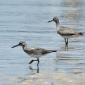 Grey-tailed tattler. Non-breeding plumage, pair feeding in shallow water. Sydney, December 2012. Image © Duncan Watson by Duncan Watson