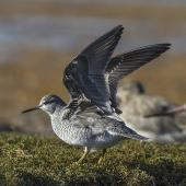 Grey-tailed tattler. Adult in breeding plumage showing under-wing. Awarua Bay, May 2015. Image © Glenda Rees by Glenda Rees http://www.flickr.com/photos/nzsamphotofanatic/