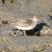 Grey-tailed tattler. Adult in breeding plumage with leg flag. Cairns, September 2010. Image © Dick Porter by Dick Porter