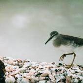 Grey-tailed tattler. Adult. Kaiaua, Firth of Thames, April 1999. Image © Alex Scott by Alex Scott