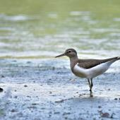 Common sandpiper. Immature in alert posture. , August 2017. Image © Cyril Vathelet by Cyril Vathelet