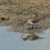 Common sandpiper. Adult feeding. London wastewater treatment plant, Barnes, July 2015. Image © Roger Smith by Roger Smith