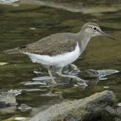 Common sandpiper. Adult. North Manukau, December 2011. Image © Duncan Watson by Duncan Watson