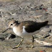 Common sandpiper. Adult. Bali coastal swamp, August 2012. Image © Dick Porter by Dick Porter