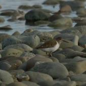 Common sandpiper. Adult. Oreti River, Southland, December 2014. Image © Glenda Rees by Glenda Rees http://www.flickr.com/photos/nzsamphotofanatic/