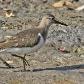 Common sandpiper. Adult. South of Bali, Indonesia, September 2010. Image © Dick Porter by Dick Porter