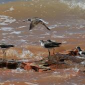Common greenshank. Four adults, one in flight (plus a redshank at back). Broome, September 2015. Image © Duncan Watson by Duncan Watson