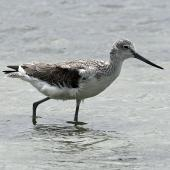 Common greenshank. Adult feeding in water. Seeburg Hide, South Africa, February 2016. Image © Duncan Watson by Duncan Watson