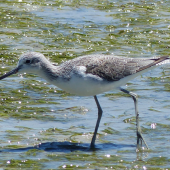 Common greenshank. Adult in non-breeding plumage. West Coast National Park, South Africa, November 2015. Image © Alan Tennyson by Alan Tennyson