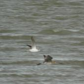 Common greenshank. Ventral view in flight with bar-tailed godwit (on right). Manawatu River estuary, January 2013. Image © Alan Tennyson by Alan Tennyson