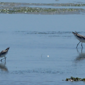 Marsh sandpiper. Adult in non-breeding plumage (left) with common greenshank (right). West Coast National Park, South Africa, November 2015. Image © Alan Tennyson by Alan Tennyson