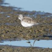 Marsh sandpiper. Adult in breeding plumage. Miranda, July 2012. Image © John Woods by John Woods