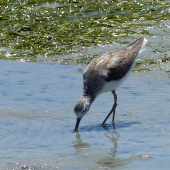 Marsh sandpiper. Adult in non-breeding plumage feeding. West Coast National Park, South Africa, November 2015. Image © Alan Tennyson by Alan Tennyson