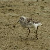 Marsh sandpiper. Adult in breeding plumage. Miranda, November 2015. Image © Douglas Cooper by Douglas Cooper
