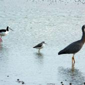 Marsh sandpiper. Non-breeding adult (centre) with pied stilt and white-faced heron. Manawatu River estuary, January 2013. Image © Alan Tennyson by Alan Tennyson