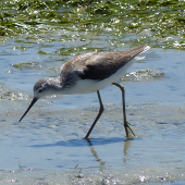 Marsh sandpiper. Adult in non-breeding plumage. West Coast National Park, South Africa, November 2015. Image © Alan Tennyson by Alan Tennyson