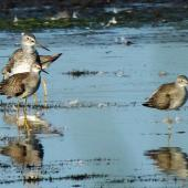 Lesser yellowlegs. Three adults around one greater yellowlegs for comparison. San Francisco estuary,  California,  USA, September 2013. Image © Duncan Watson by Duncan Watson