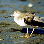 Terek sandpiper. Non-breeding adult. Manawatu River estuary, March 2002. Image © Alex Scott by Alex Scott