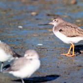 Terek sandpiper. Adult (right) with two wrybills. Manawatu River estuary, March 2002. Image © Alex Scott by Alex Scott