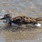 Ruddy turnstone. Non-breeding adult bathing. Fort Pierce,  Florida,  USA, November 2014. Image © Rebecca Bowater by Rebecca Bowater FPSNZ AFIAP www.floraandfauna.co.nz