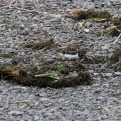 Ruddy turnstone. Four non-breeding adults foraging among tidal debris. Clive rivermouth, Hawke's Bay, November 2015. Image © Adam Clarke by Adam Clarke