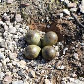 Ruddy turnstone. Nest with 4 eggs. Russian Harbor, Novaya Zemlya, Barents Sea, July 2019. Image © Sergey Golubev by Sergey Golubev