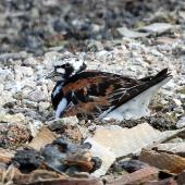 Ruddy turnstone. Adult on nest. Russian Harbor, Novaya Zemlya, Barents Sea, July 2019. Image © Sergey Golubev by Sergey Golubev