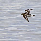 Ruddy turnstone. Adult in flight. Pakiri Beach, November 2011. Image © Raewyn Adams by Raewyn Adams