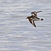 Ruddy turnstone. Adult in flight. Pakiri Beach, November 2011. Image © Raewyn Adams by Raewyn Adams