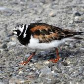 Ruddy turnstone. Adult on breeding grounds. Russian Harbor, Novaya Zemlya, Barents Sea, July 2019. Image © Sergey Golubev by Sergey Golubev