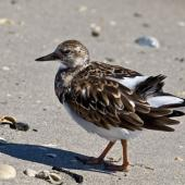 Ruddy turnstone. Non-breeding adult. Fort Pierce,  Florida,  USA, November 2014. Image © Rebecca Bowater by Rebecca Bowater FPSNZ AFIAP www.floraandfauna.co.nz