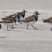 Ruddy turnstone. Adults coming into breeding plumage. Motueka Sandspit, Tasman Bay, March 2009. Image © Rebecca Bowater FPSNZ by Rebecca Bowater  FPSNZ Courtesy of Rebecca Bowaterwww.floraandfauna.co.nz