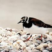 Ruddy turnstone. Adult in breeding plumage. Kaiaua, April 1999. Image © Alex Scott by Alex Scott