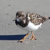 Ruddy turnstone. Adult, non-breeding plumage. Cocoa Beach, Florida, December 2009. Image © Alan Tennyson by Alan Tennyson