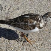 Ruddy turnstone. Juvenile. Lake Worth Beach, Florida, January 2010. Image © Alan Tennyson by Alan Tennyson