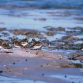 Ruddy turnstone. Non-breeding flock. Kaikoura Peninsula, March 1989. Image © Peter Reese by Peter Reese