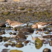 Ruddy turnstone. Two non-breeding adults foraging in tidal pool. Clive rivermouth, Hawke's Bay, November 2015. Image © Adam Clarke by Adam Clarke