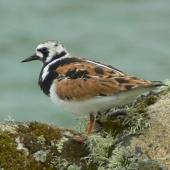 Ruddy turnstone. Adult male in breeding plumage, subspecies interpres. St Kilda, Scotland, June 2011. Image © Tony Crocker by Tony Crocker