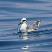 Grey phalarope. Adult non-breeding. Puerto Angel, Oaxaca, Mexico, March 2015. Image © Nigel Voaden by Nigel Voaden