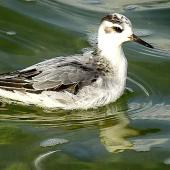 Grey phalarope. Juvenile (first winter). Farmoor Reservoir, Oxfordshire, England, October 2018. Image © Alan Shaw by Alan Shaw